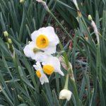 スイセンの丘のスイセンが咲き始めましたよ!