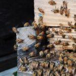 大和ミツバチと暮らす